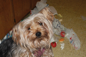 "It may look cute on YouTube, having precocious pooches forage through trash and garbage looking for a new taste treat, but dogs like Lamb Chop, a Yorkie, can get ""Garbage Gut"" by eating foods that don't agree with their gastrointestinal system."