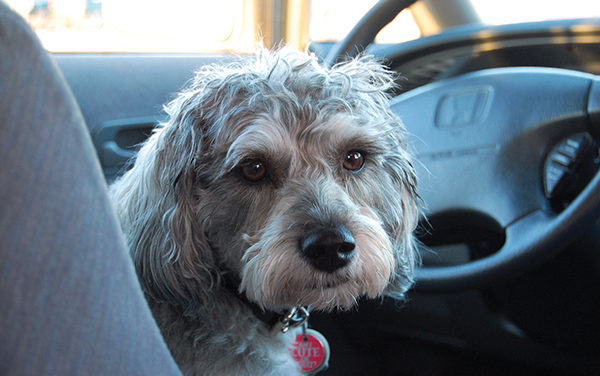 Pets left in sweltering cars can get owners into real hot water